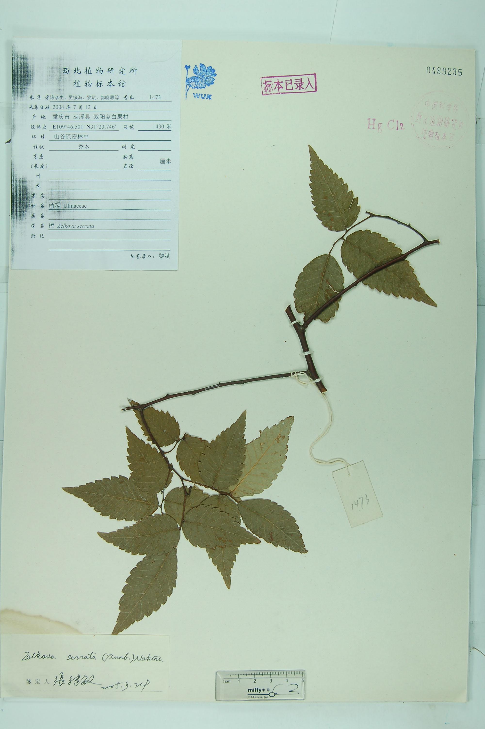 银杏树叶子标本